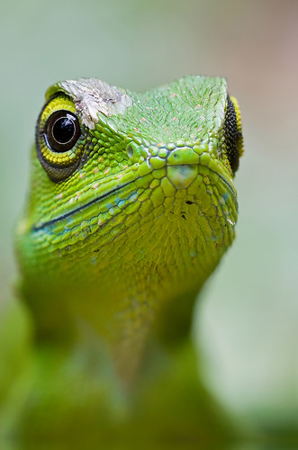 Green crested lizard, <i>Bronchocela cristatella. </i>IMG_0598stk copy