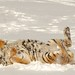 Siberian Tiger by Ami 211