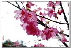 Sakura and plum