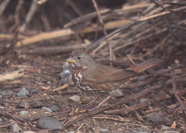 Feb 20 2011 Fox Sparrow.2
