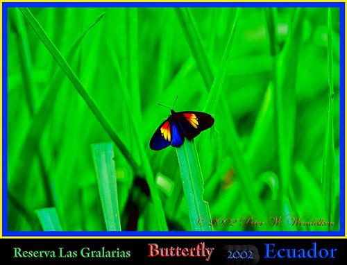 butterfly ecuador mariposa mindo tropicalbutterfly butterflyphoto butterflypictures actinote ecuadorbutterfly butterfliesofsouthamerica photobypeterwendelken peterwendelken reservalasgralarias butterfliesofecuador ecuadorbutterflyphoto ecuadorphoto mariposadeecuador fotodemariposa butterfliesoftheandes actinoteozomene ozomenealtinote lamplightaltinote actinoteozomenebutterfly actinoteozomenephoto actinoteozomeneimage