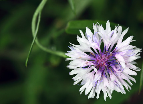 white flower macro nature closeup purple iowa delicate iowacity cornflower delicacy centaureacyanus batchelorsbutton