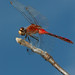 Sympetrum internum - Cherry-faced Meadowhawk