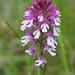 Orchid hybrid (Paul Harmes)