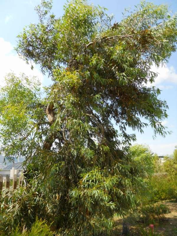 Eucalyptus diversifolia v 1