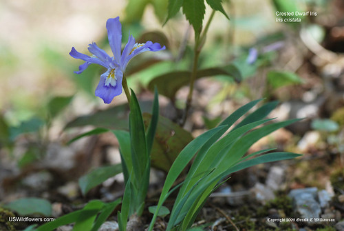 Crested Dwarf Iris - Iris cristata