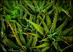 aloe, vascular plant, leaf, plant, flora, green, plant stem, vegetation,