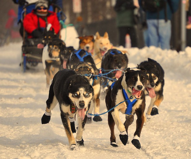 Iditarod Dogs Working It