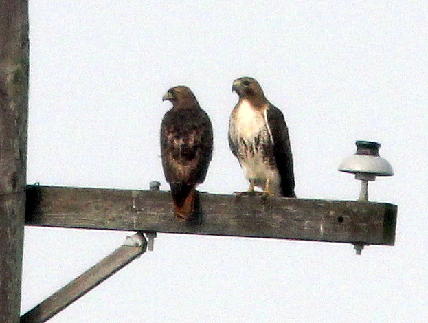 Red-tailed Hawk pair 2-20110306