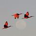 Scarlet Ibis (Peter Dunn)