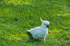 cockatoo(1.0), animal(1.0), grass(1.0), pet(1.0), sulphur crested cockatoo(1.0), green(1.0), fauna(1.0), meadow(1.0), lawn(1.0), beak(1.0), bird(1.0), wildlife(1.0),