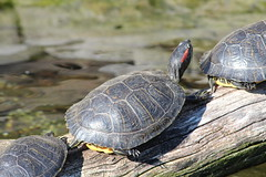 animal, turtle, box turtle, reptile, fauna, close-up, emydidae, wildlife, tortoise,