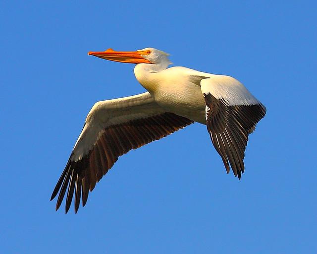 IMG_9150 American White Pelican, Don Edwards SF Bay NWR