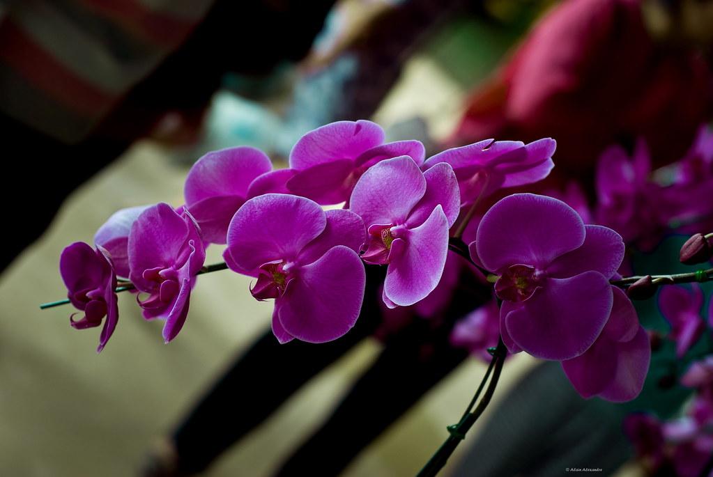 de l 39 autre c t de chez siam les orchid es nord de la tha lande. Black Bedroom Furniture Sets. Home Design Ideas