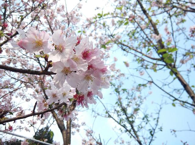 Mi3_Sakura_06