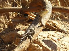 animal, reptile, lizard, fauna, agamidae, scaled reptile, wildlife,