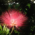 KW mimosa