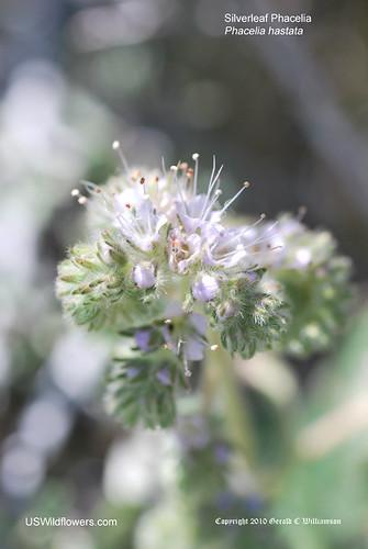 Silverleaf Phacelia, Timberline Phacelia, Mountain Phacelia - Phacelia hastata