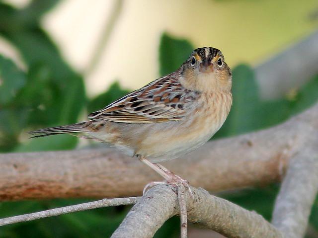 Grasshopper Sparrow 3-20110201