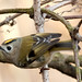 Goldcrest - Photo (c) cesare dolzani, some rights reserved (CC BY-NC-SA)