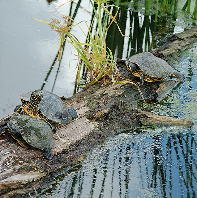 Mossy turtles sun themselves on fallen Cypress Tree