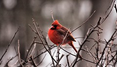 animal, perching bird, branch, red, nature, fauna, finch, cardinal, emberizidae, beak, bird, wildlife,