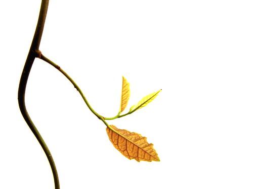 枝芽及其结构图