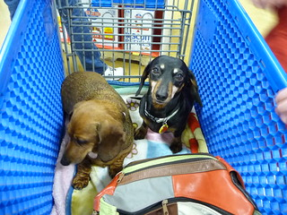 dachshunds in a shopping cart | by safoocat