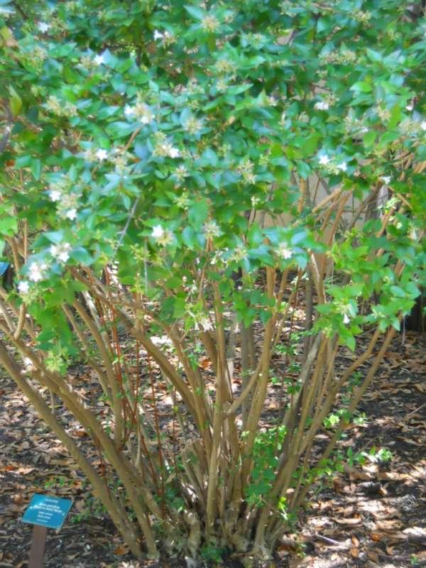 Abelia x grandiflora v 5