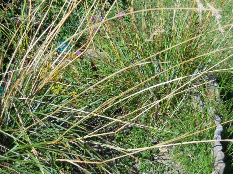 Festuca paniculata 2