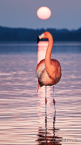 sunset red sun lake reflection bird water silhouette standing sunrise landscape bayern bavaria mirror see waves legs dusk flamingo flash leg romance disk figure late outline disc chiemsee contour afterglow