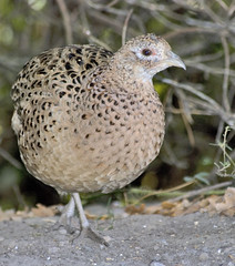 animal, quail, fauna, close-up, ruffed grouse, beak, bird, galliformes, wildlife,