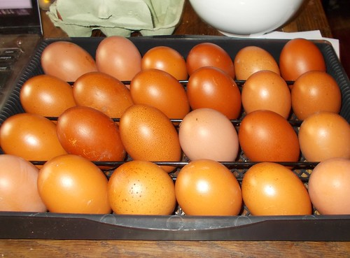 incubator full of eggs