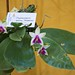 Phalaenopsis bellina Perfetta