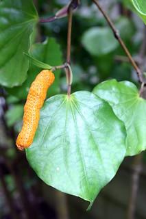Macropier excelsum kawakawa