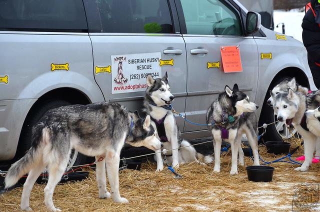 Image Result For Siberian Husky Rescue