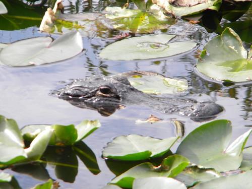 Everglades Alligators-4