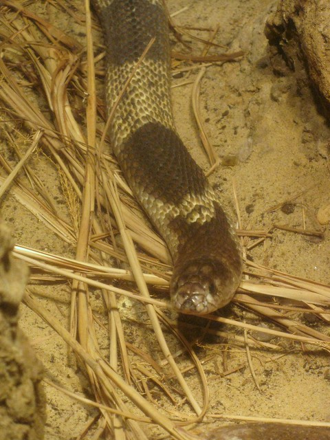 What Does M Mean >> Egyptian cobra definition/meaning