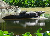 "<a href=""http://www.flickr.com/photos/anitagould/5463051993/"">Photo of Crocodylus acutus by Anita363</a>"