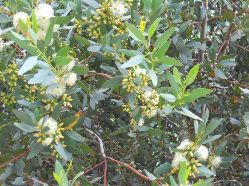 Eucalyptus platypus 3