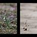 Snowdrop Diptych by oalsaker