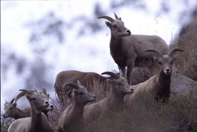 Bighorn Sheep, Sierra Nevada