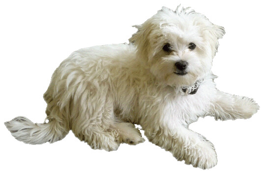 maltese dog clipart - photo #2