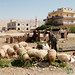 Shepherd Feeds his Sheep - Ghor el Safi, Jordan