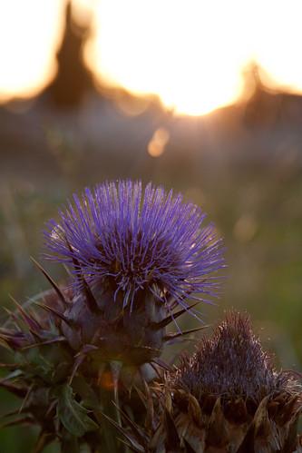light sunset cactus sunlight plant blur flower green dark evening purple bokeh background prickly 2011 24105mm 50d