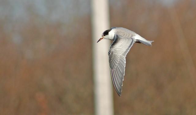 Common Tern - Wellfleet Harbor, Wellfleet, MA - 5 December 2004