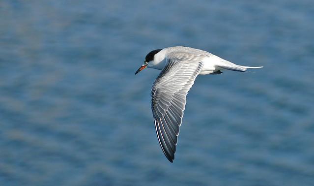 Common Tern - Wellfleet Harbor, Wellfleet, MA - 5 December 2004b