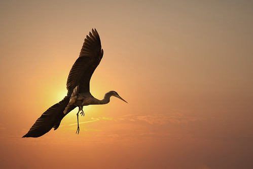 blue sunset heron composite great
