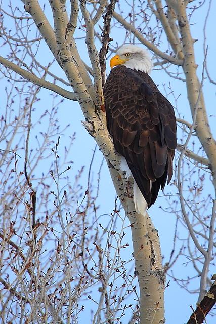 IMG_4397 Bald Eagle, National Elk Refuge