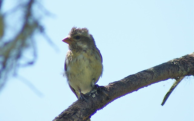 Purple Finch (Fringillidae:Carpodacus purpurpeus) male, rare yellow variant
